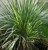 Lemon Grass Herb