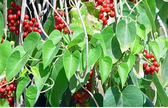 makabuhay plant extract Pansit-pansitan, peperomia pellucida: the plant extract was found to inhibit growth of various bacterial pathogens and inhibit 30% of dpph, free radical.