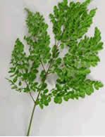 malunggay leaves