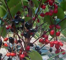 tongkat ali fruits