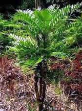 Tongkat Ali Scientific Name: Eurycoma longifolia Jack