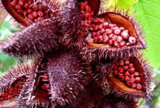 Annatto (Bixa Orellana) Herbal Medicine, Health Benefits, Uses ...