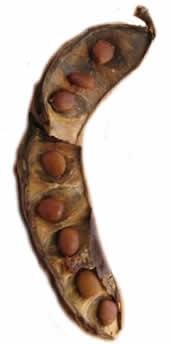 sementes de alfarroba