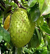 soursop cancer and evergreen tree native Evergreen tree native to mexico  cuba  central  [picture credit: soursop tree  and fruit] today, it is  scientific research on soursop (graviola) and cancer.